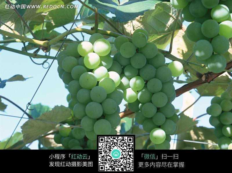 葡萄架上的葡萄图片_空中动物图片