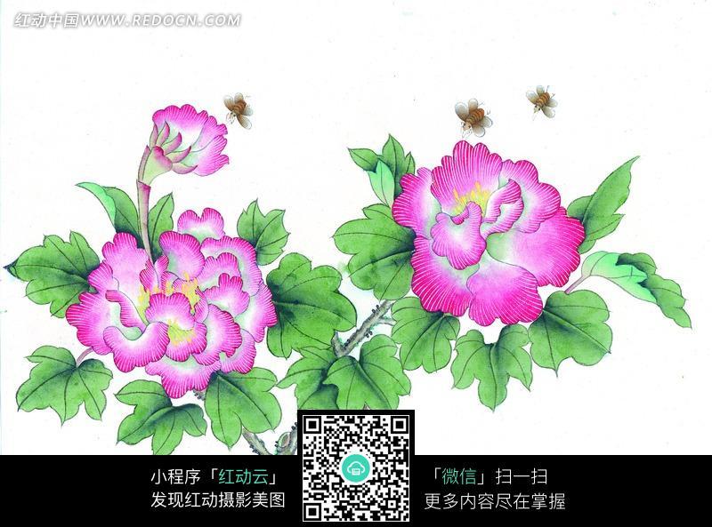 工笔画—盛开的粉色牡丹花和蜜蜂图片