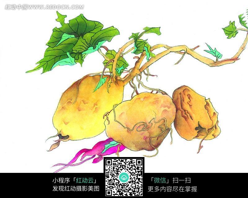 番薯写意画图片