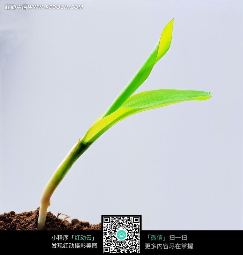 免费素材 图片素材 生物世界 花草树木 泥土中长出的绿芽