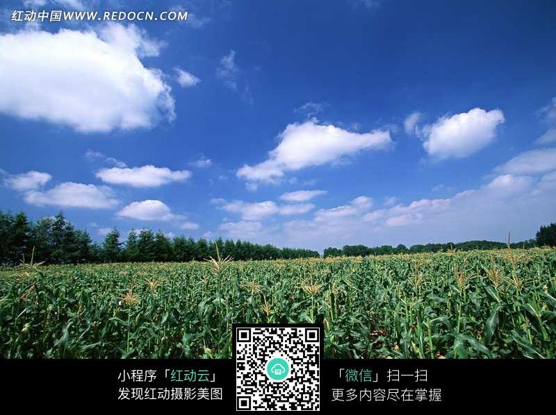 蓝天下大片玉米地景色_自然风景图片