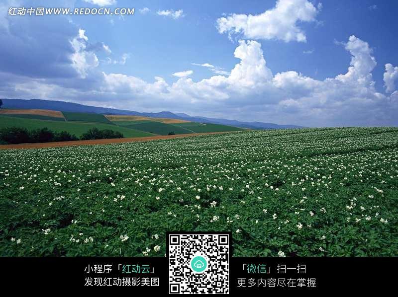 晴天下田野一片菜花图片_自然风景图片