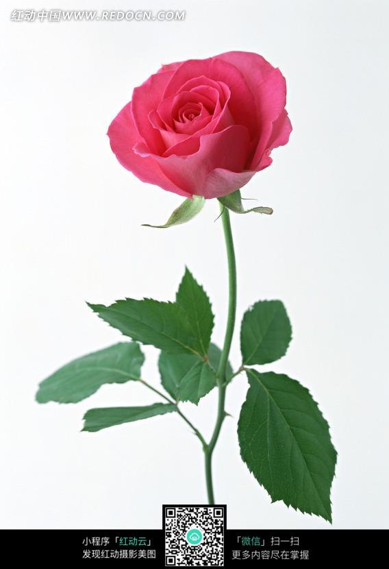 一枝红色玫瑰花图片