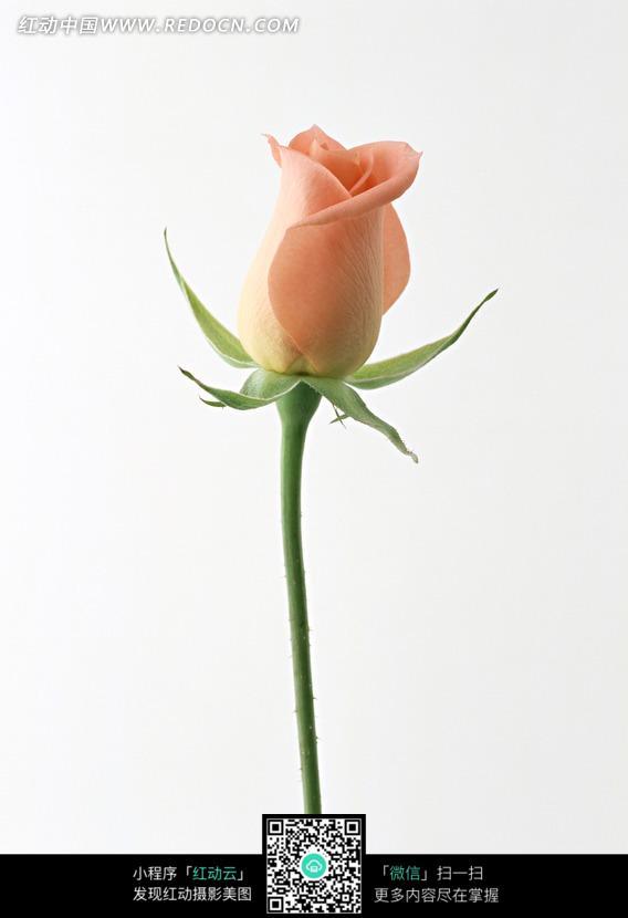 一枝玫瑰花花蕾图片