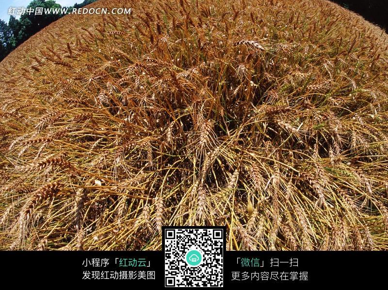 圆镜头下成熟的麦子图片_花草树木图片