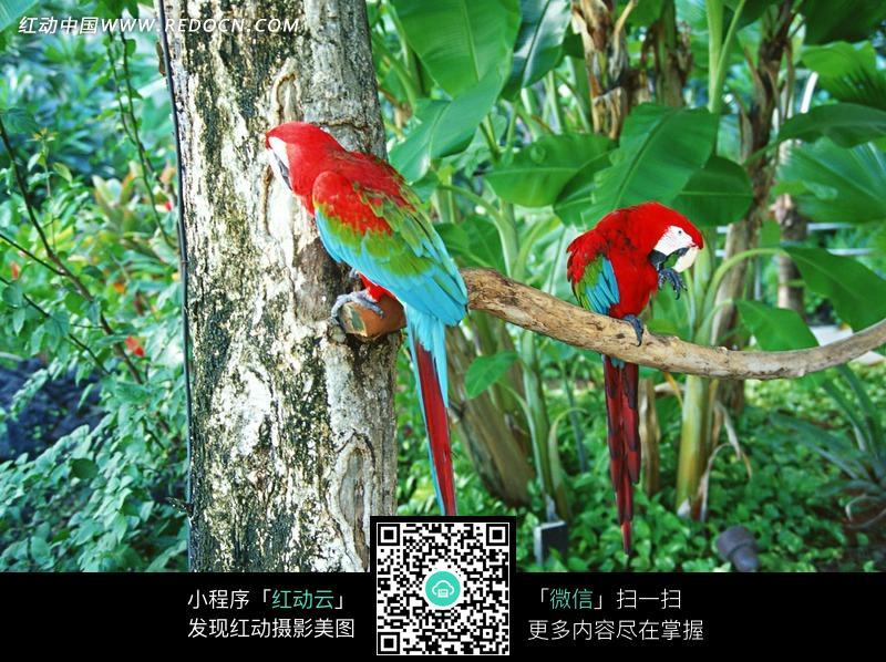 树枝上的两只红色鹦鹉图片 海洋海边图片
