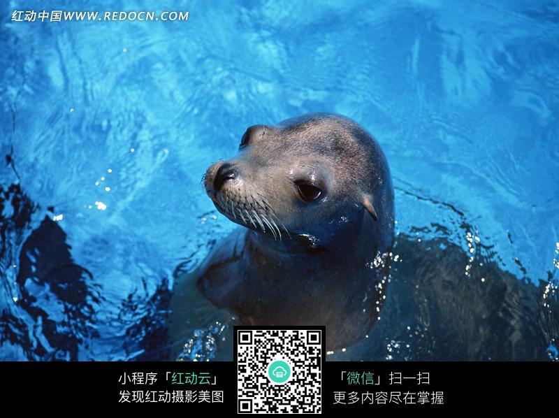 水里可爱的黑色海豹图片