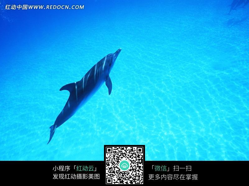 免费素材 图片素材 生物世界 水中动物 海洋中游动的海豚
