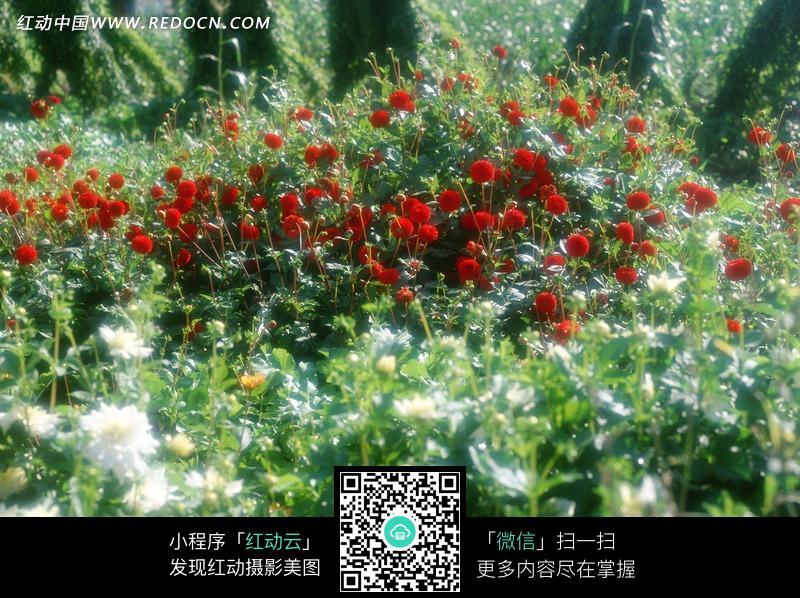满山红花白花图片_花草树木图片