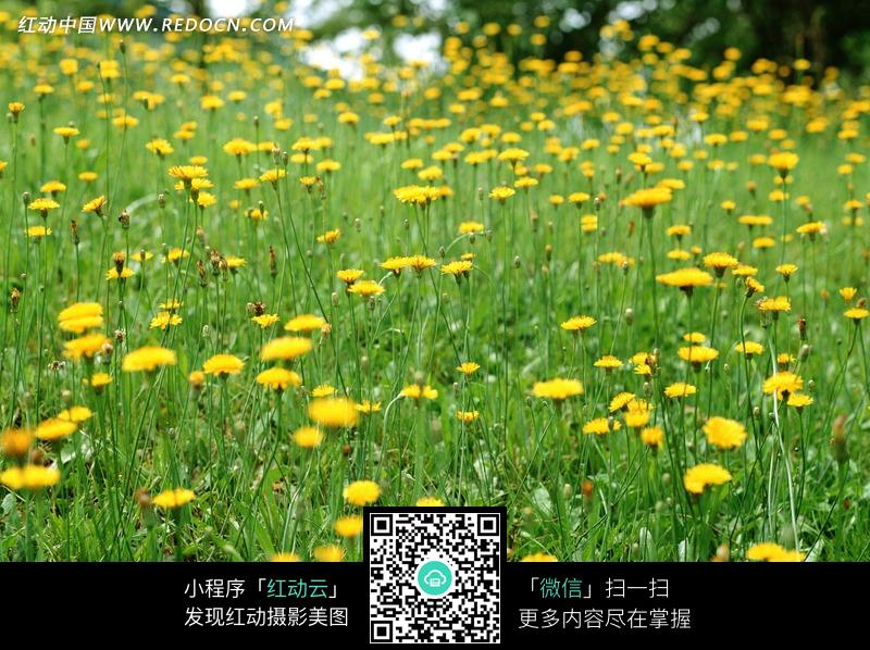一片黄色菊花
