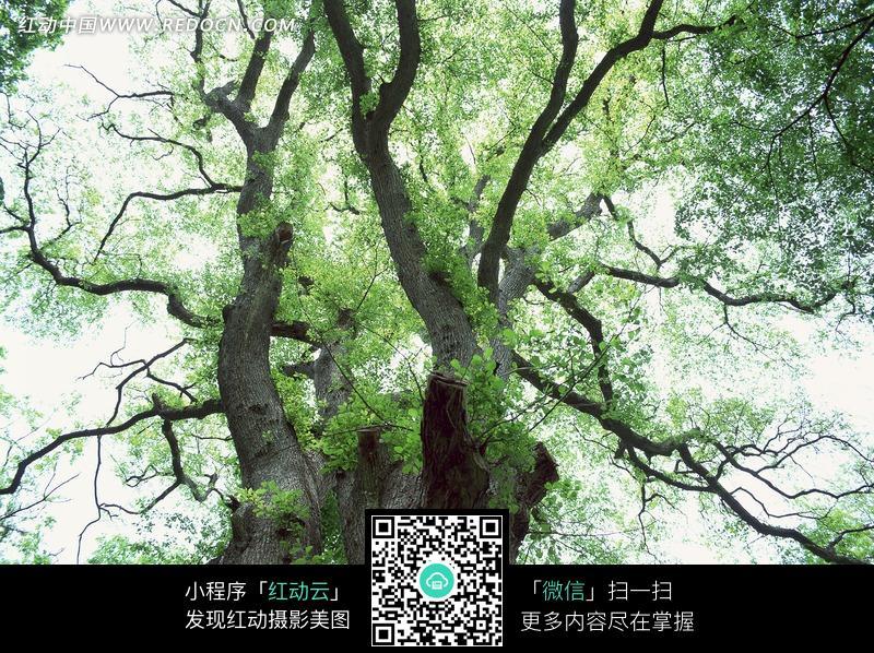 树干弯曲树叶稀少的树木仰拍图图片