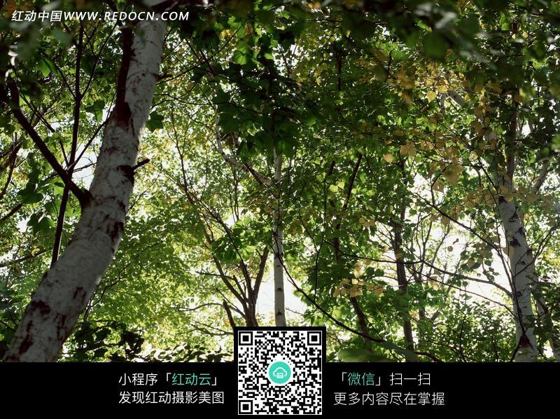 白色树干的树林仰拍图图片