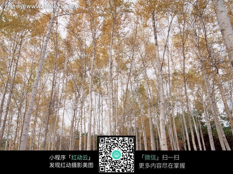 美丽的黄色树木图片