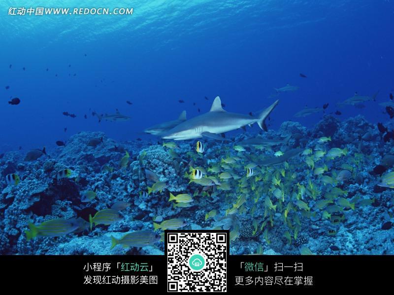 鯊魚 游弋的魚群 海魚 海底風光 風景圖片 攝影圖片 動物 動物圖片