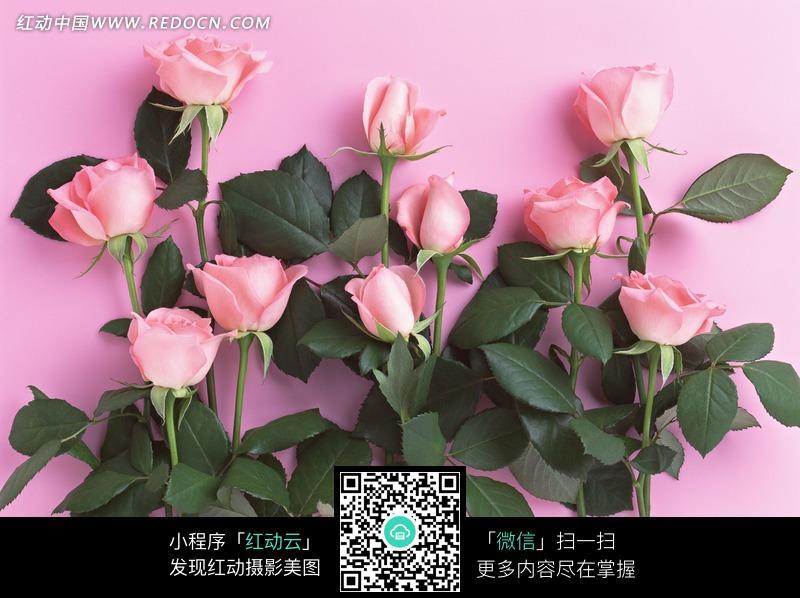 您当前访问素材主题是粉色背景上的玫瑰花,编号是1162197,文件格式jpg