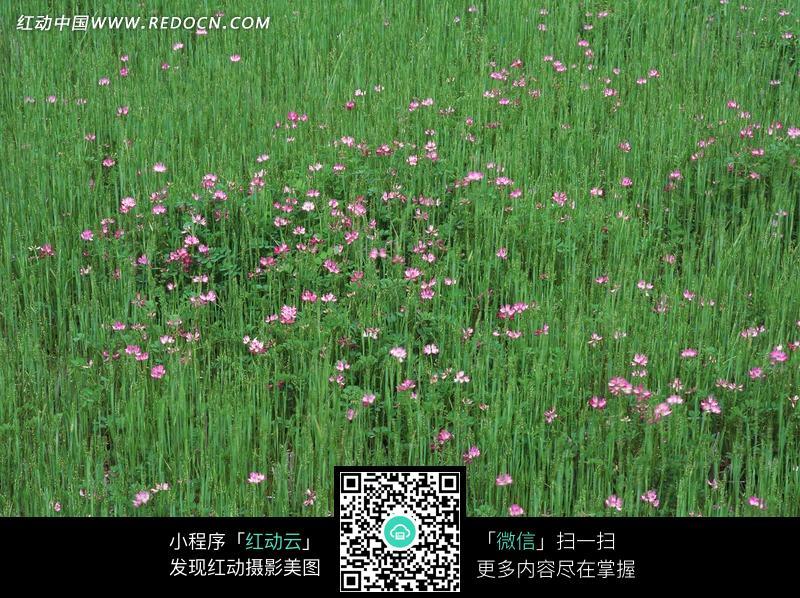 绿色的草地和粉色野花