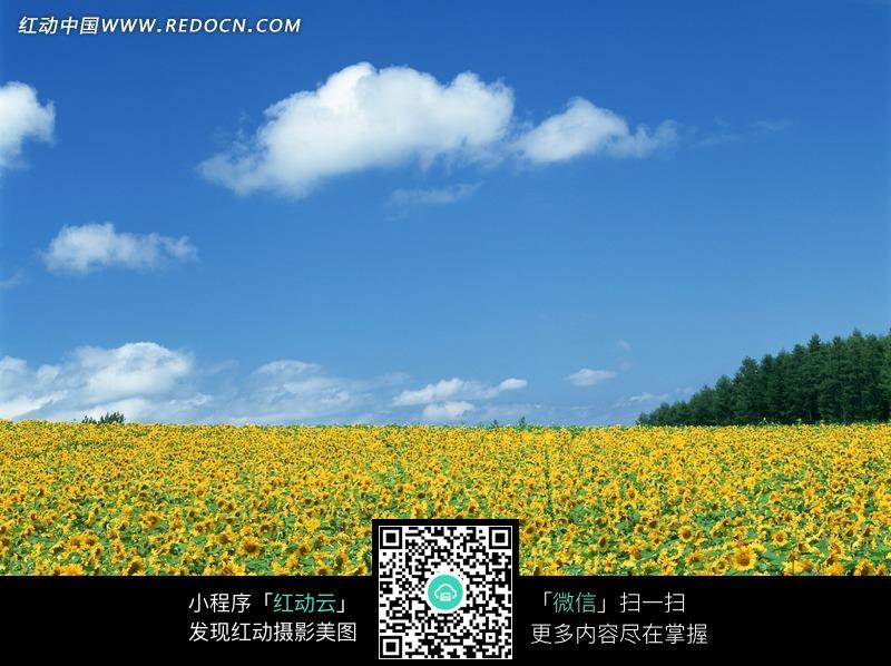 唯美向日葵风景头像