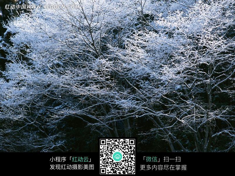 树林树枝枝头白色霜冻图片_自然风景图片