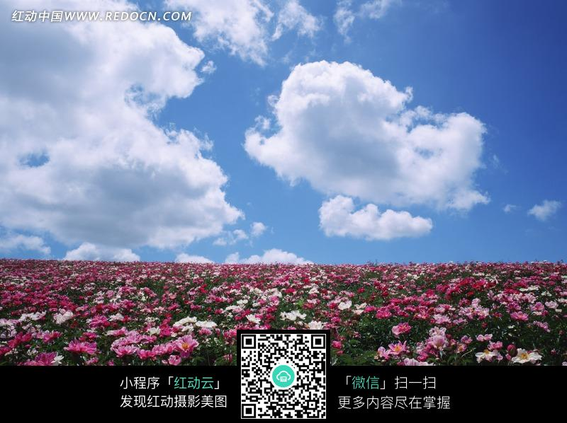 蓝天白云下鲜花盛开的草地