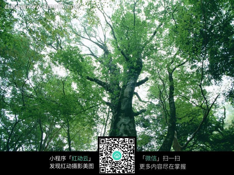 一棵参天大树图片