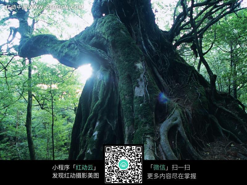 生机勃勃的森林里的古树