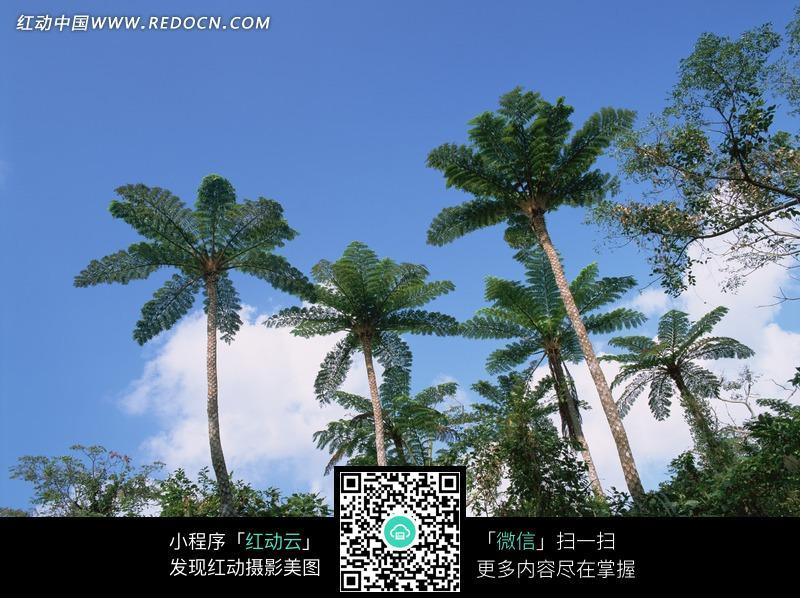 免费素材 图片素材 自然风光 自然风景 蓝天白云下挺拔的桫椤树  请您