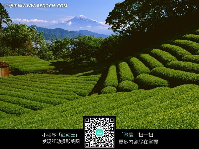 免费素材 图片素材 自然风光 自然风景 绿色茶叶梯田  请您分享: 素材