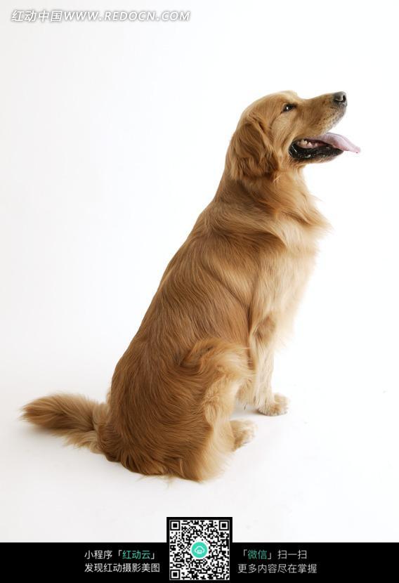 金毛寻回犬侧面