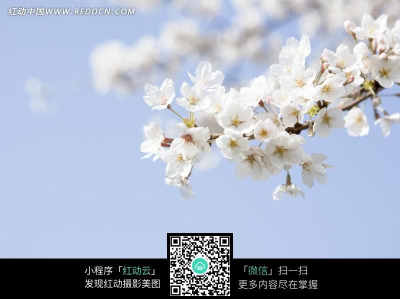 枝头上白色的樱花图片