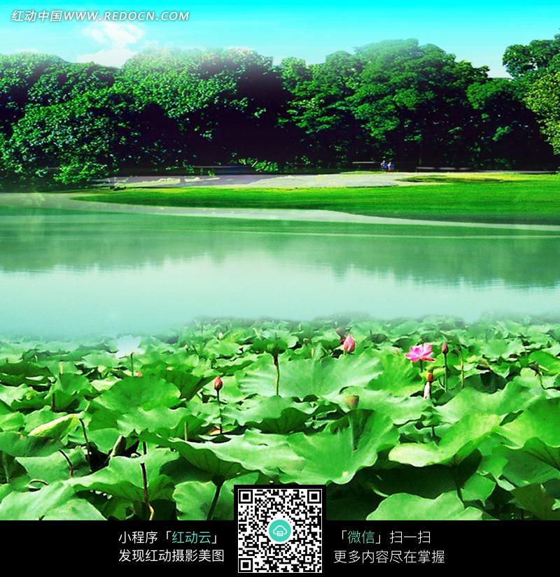 树林荷花塘风景画图片