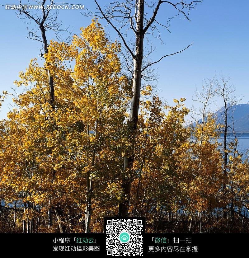 秋天的白桦树林图片