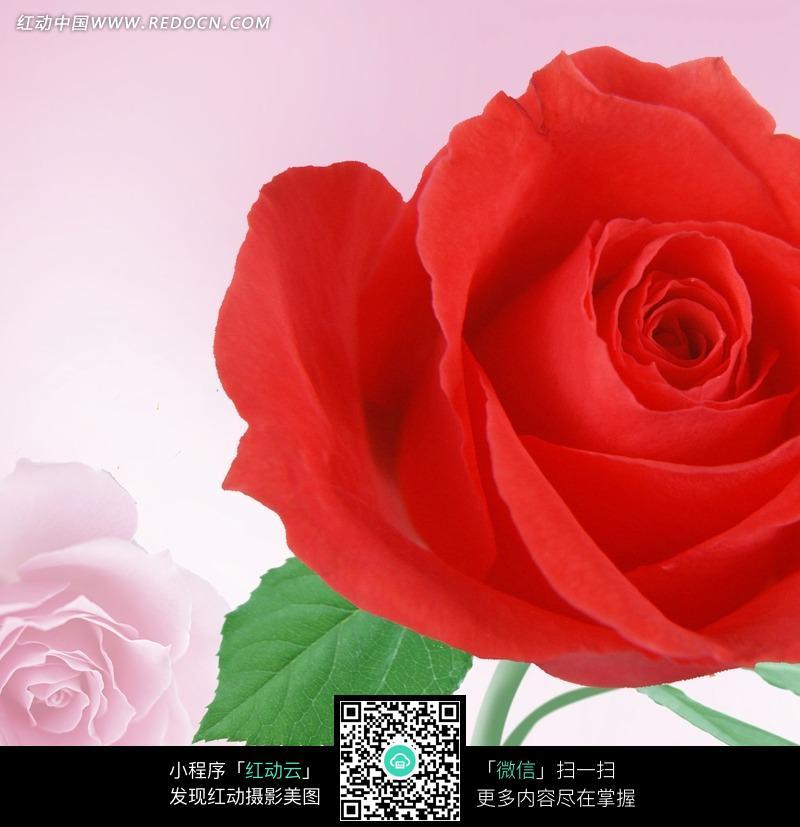 一支红色玫瑰花特写图片图片