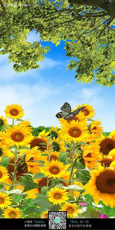 大树下的一片黄色向日葵和蝴蝶图片
