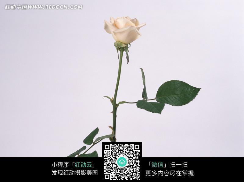 免费素材 图片素材 生物世界 花草树木 一朵白色玫瑰素材