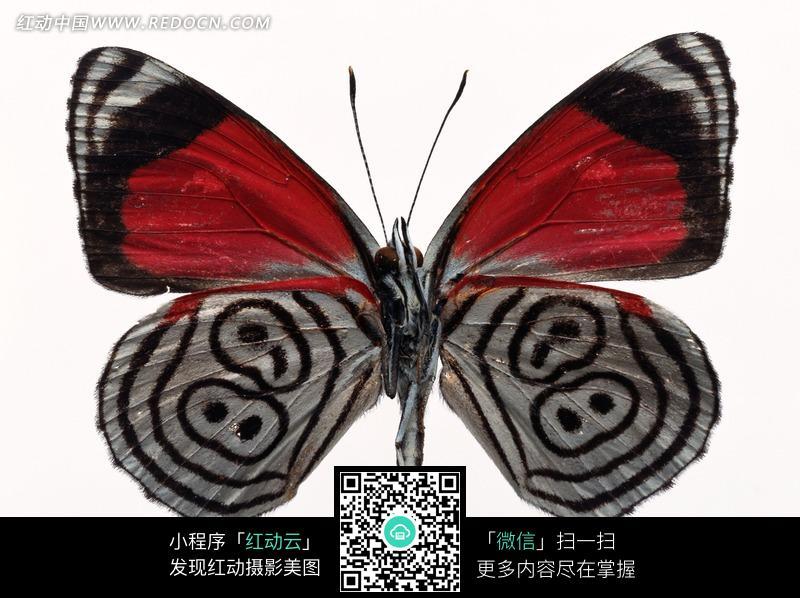 世界 > 昆虫世界 > 一只带黑色条纹的蝴蝶标本图片