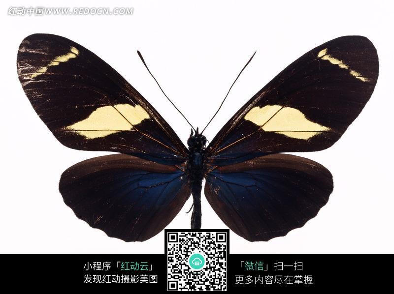 生物世界 > 昆虫世界 > 黄色色块的黑色蝴蝶标本图片