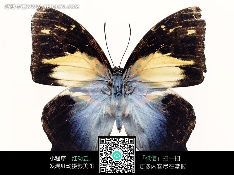 张开翅膀的黑色大蝴蝶图片