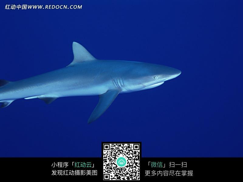 素材描述:红动网提供海洋海边精美素材免费下载,您当前访问素材主题是深海里的一条鲨鱼,编号是1342241,文件格式JPG,您下载的是一个压缩包文件,请解压后再使用看图软件打开,图片像素是2950*2094像素,素材大小 是464.38 KB。