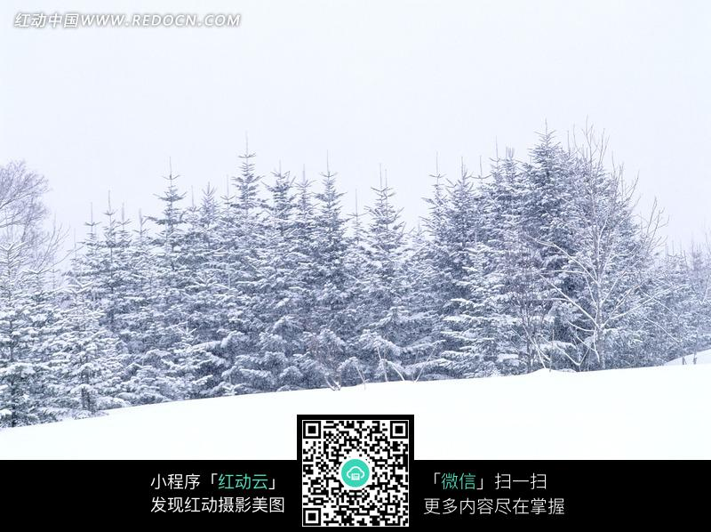 雪地中被冰雪覆盖的松树图片免费下载 编号766807 红动网