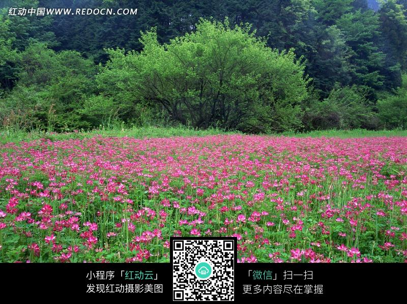 盛開的密密麻麻的粉色小花