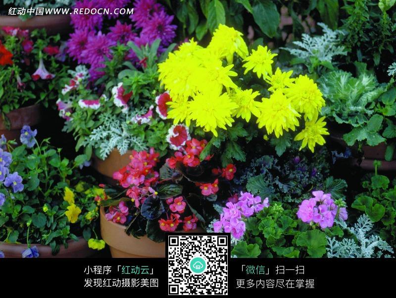 花盆的花图片_玫瑰花花盆图片_玫瑰花盆图片大全_花盆