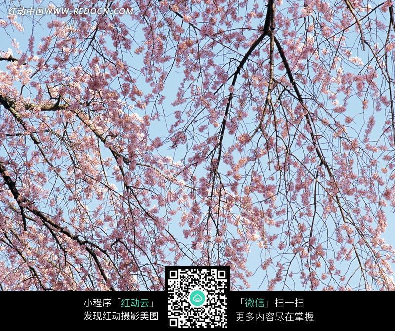 樱花树枝图片_花草树木图片