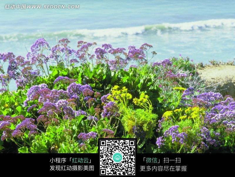 海边的紫色绿叶花朵植物图片