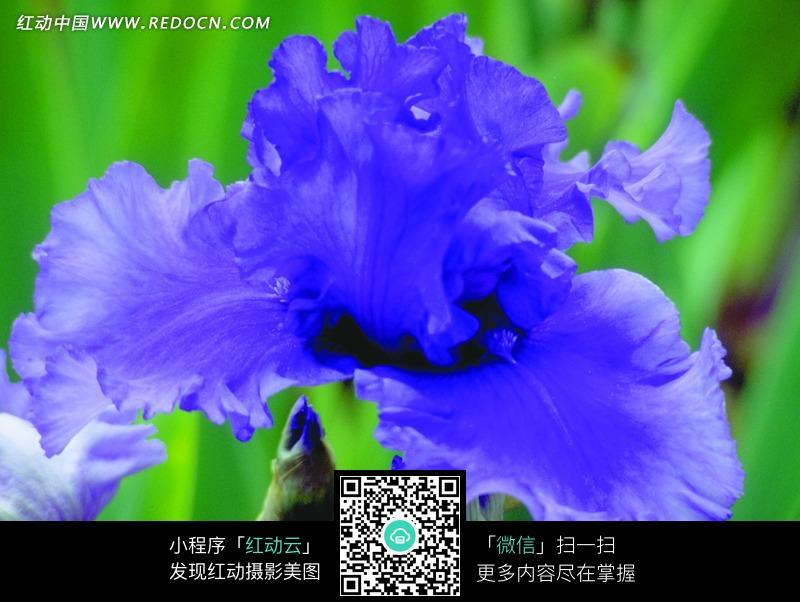 免费素材 图片素材 生物世界 花草树木 蓝紫色鸢尾花  请您分享: 素材图片