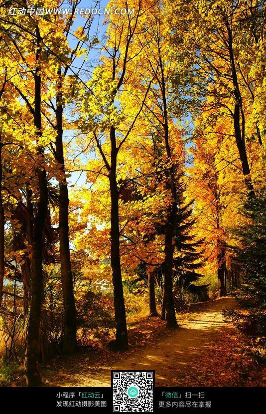 秋天 金色树林 小路 高大的树木 落叶 阳光  自然风光 风景图片 摄影