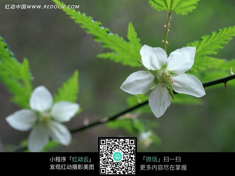 树枝 绿叶 叶子 白色花朵 微距 自然风光 风景图片 摄影图片
