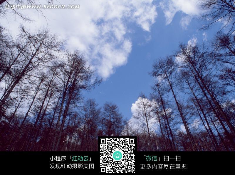 蓝天白云下的枯树林仰拍图图片
