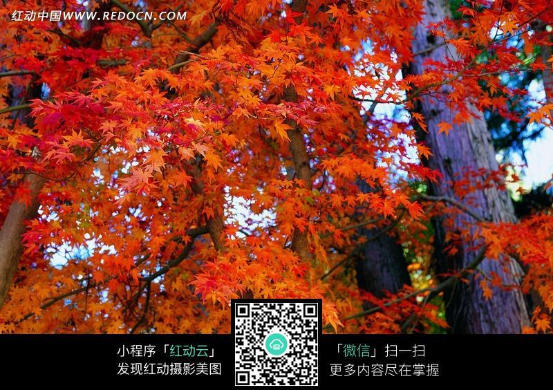 枫树林风景图片下载