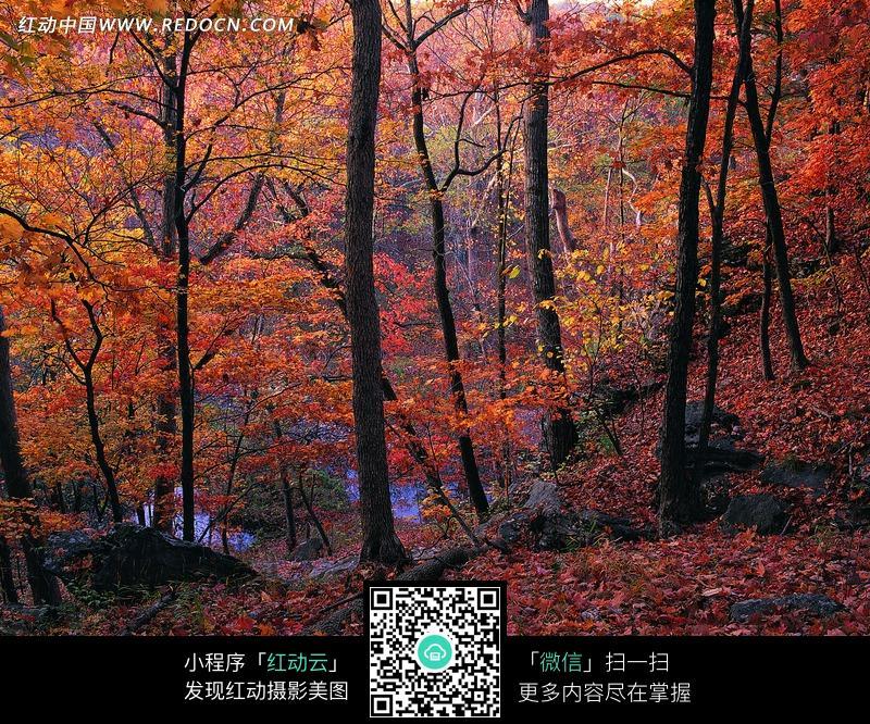 秋天枫树林美景摄影图片