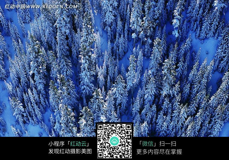 雪地里松树林图片